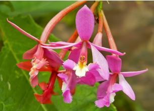 orquidea_ecoamericaperu