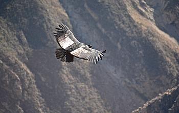 andean_condor