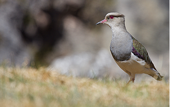andean_plover