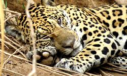 jaguar_tambopata_ecoamericaperu