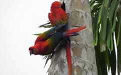 macaws_tambopata_ecoamericaperu