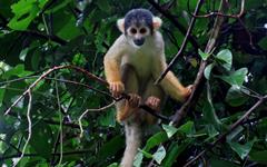 squirrel_monkey_ecoamericaperu